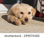 cute white labrador puppy... | Shutterstock . vector #259074182