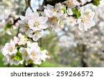 Blooming Apple Tree In Spring...