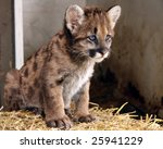 A Closeup Of A Cougar Cub With...