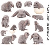 Stock photo grey lop eared rabbit rex breed isolated on white 259412912