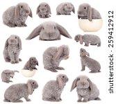 grey lop eared rabbit rex breed ... | Shutterstock . vector #259412912