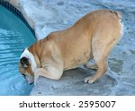 bulldog drinking from swimming pool - stock photo