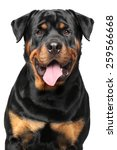 Portrait Of A Strong Rottweile...