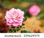 soft focus photo of pink rose...   Shutterstock . vector #259629575