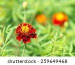 soft focus photo of mums flowers   Shutterstock . vector #259649468