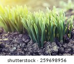 Young Green Shoots In The...