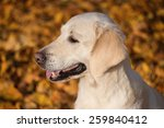 golden retriever portrait | Shutterstock . vector #259840412