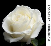 Stock photo white rose on the black background 259847075