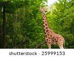 Giraffe Reaching For Leaves