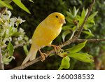 Canary Bird On A Branch.