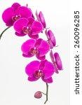 purple phalaenopsis orchids... | Shutterstock . vector #260096285