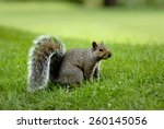 Squirrel In Summer Park ...
