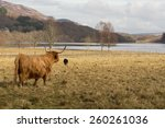 Highland Cow Looking Towards...