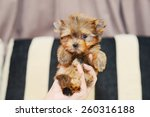 Stock photo gold yorkshire terrier 260316188
