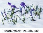 White And Purple Crocuses...