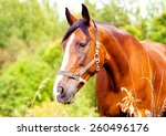 Bay Horse Eating Grass