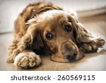 cocker spaniel laying down | Shutterstock . vector #260569115