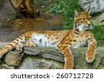 Portrait Of Bobcat Lying On The ...