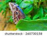 Morpho  Butterfly Of Cenatral...