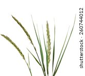 Small photo of ELYMUS LEYMUS ARENARIUS Plant Grass Isolated on white background