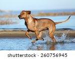 beautiful active dog runs on... | Shutterstock . vector #260756945