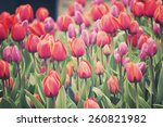 tulip flower garden | Shutterstock . vector #260821982