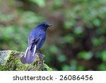 white tailed blue robin ... | Shutterstock . vector #26086456