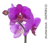 Blooming Twig Of Purple Orchid...