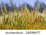 ripening wheat on the field | Shutterstock . vector #26098477