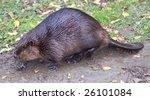 beaver  summer  ontario  canada   Shutterstock . vector #26101084