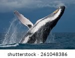 jump humpback whale. madagascar | Shutterstock . vector #261048386