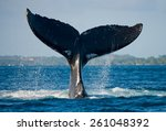 humpback whale tail. madagascar.... | Shutterstock . vector #261048392