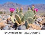 Blooming Beavertail Cactus In...