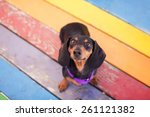 Pet Dachshund Standing On...