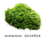ornamental tree isolated on... | Shutterstock . vector #261169016