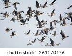 anser albifrons | Shutterstock . vector #261170126
