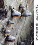 Small photo of Conk of Stem decay fungi Fomitopsis pinicola on a log
