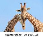 giraffe couple in love with... | Shutterstock . vector #26140063