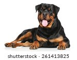 Rottweiler Dog Lying In Front...