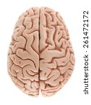 brain model from above | Shutterstock . vector #261472172