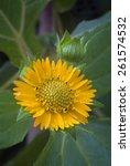 Small photo of Yacon flower (smallanthus sonchifolius). edible root of America