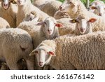 herd of white sheep in the... | Shutterstock . vector #261676142