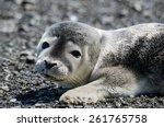 gray seal pup portrait ... | Shutterstock . vector #261765758