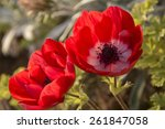 Couple Of Red Anemone Flowers...