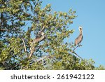 Two Pelicans On Tree Branches....