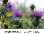 Wild Irish Thistle Growing In...
