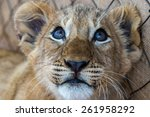 Stock photo white lion cubs south africa 261958292
