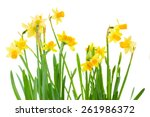 bunch  of bright spring yellow... | Shutterstock . vector #261986372