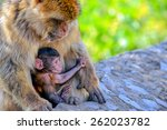 Baby Macaque And His Caring...