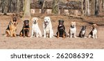 Stock photo group of dogs on obedience training 262086392
